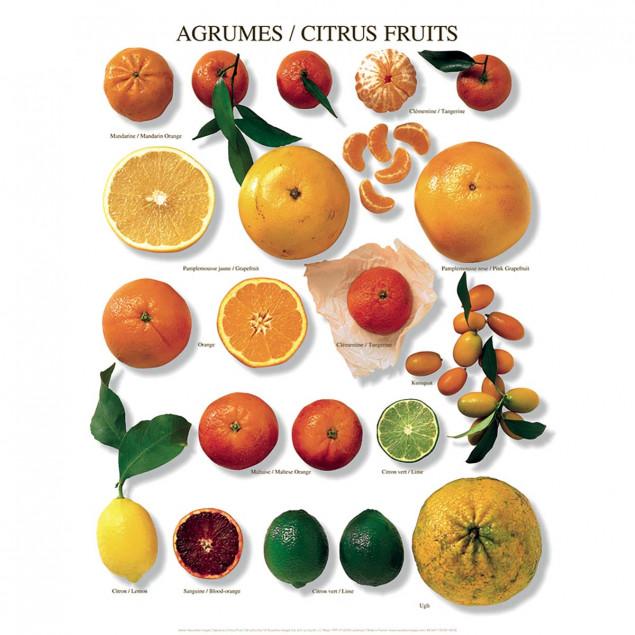 Citrus Fruits Poster - 40 x 50