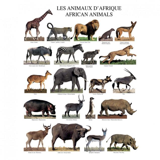 Animals of Africa poster - 40 x 50 cm