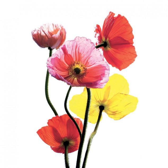 Affiche Pavots multicolores de C. PORCHEZ - 40x50c