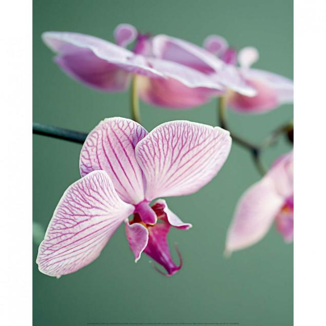 Affiche Orchidée rose - A. VUILLON, 40x50cm