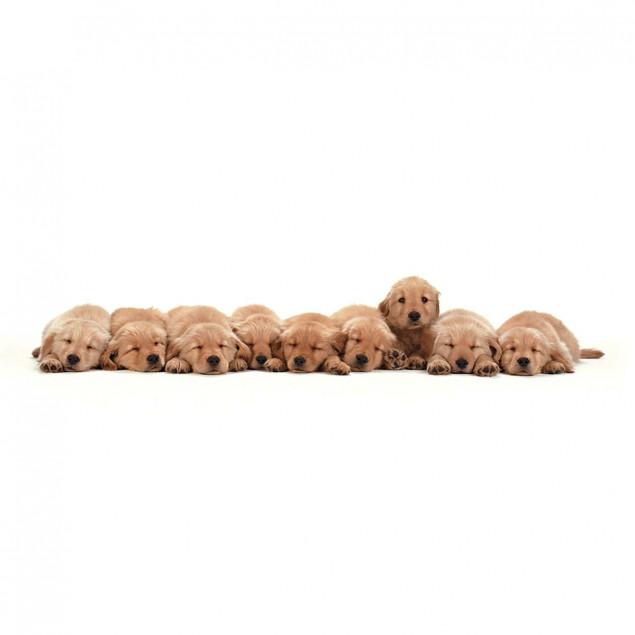 Nine Golden Retriever Puppies