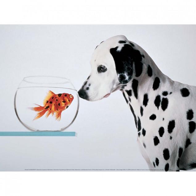 Dalmatian Dog looking at Dalmatian Fish
