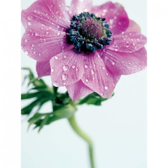 Pink Anemone poster - A. VUILLON, 30 x 40 cm