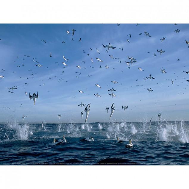 Fous du Cap plongeant sur un banc de sardines, Afr