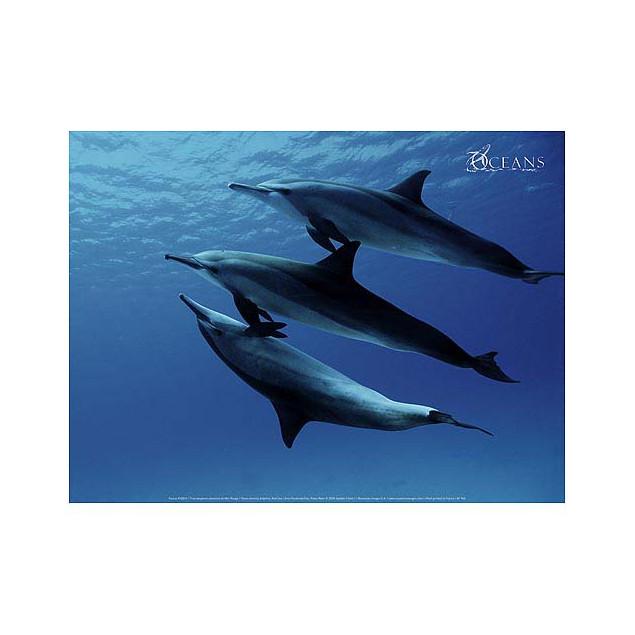 Trois dauphins stenelles de Mer Rouge