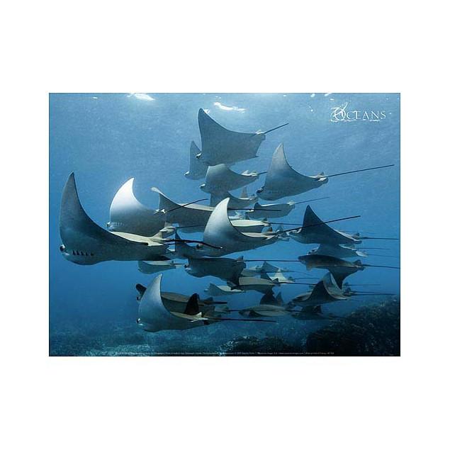 Shoal of mobula rays, Galápagos Islands