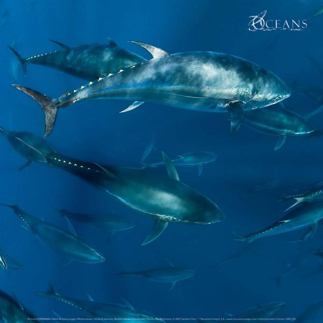 Shoal of red tuna, Mediterranean