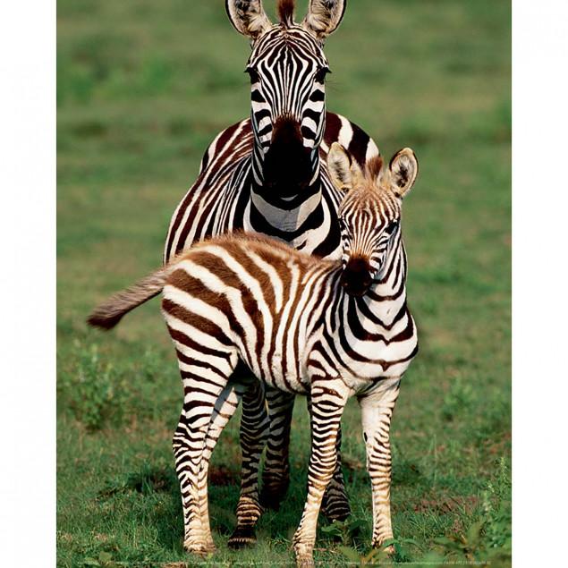 Zebra with cub, Serengeti National Park, Tanzania