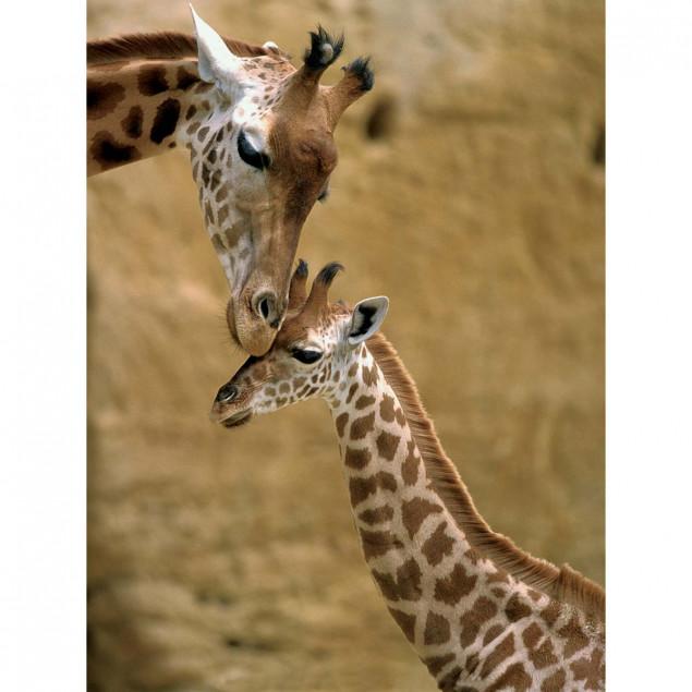Tender moment between Giraffe and son