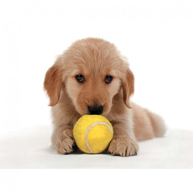 Golden Retriever puppy with tennis ball