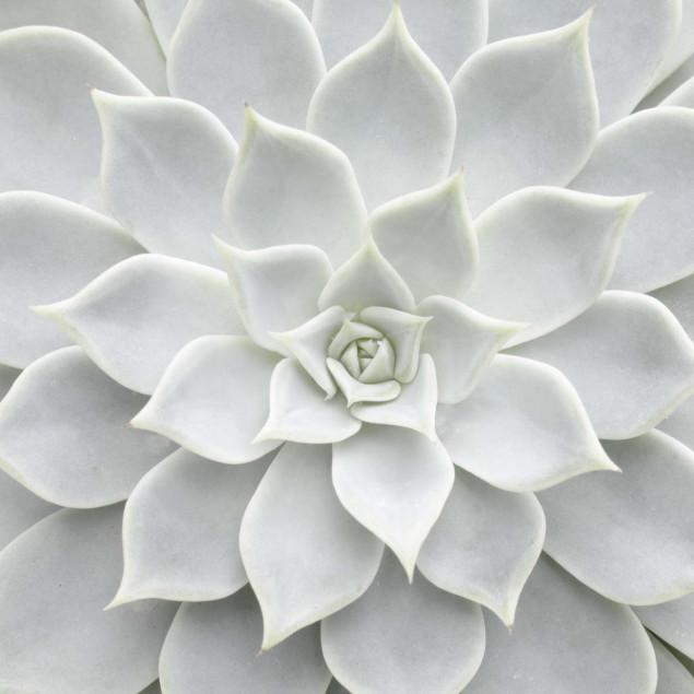 Toile - Plante succulente blanche